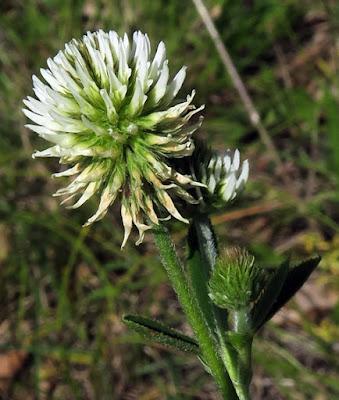 Trèfle de montagne (Trifolium montanum)