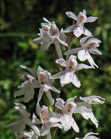 Orchis de Fuchs (Dactylorhiza fuchsii)