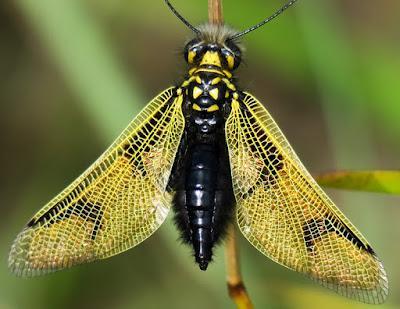 Ascalaphe commun (Libelloides longicornis)