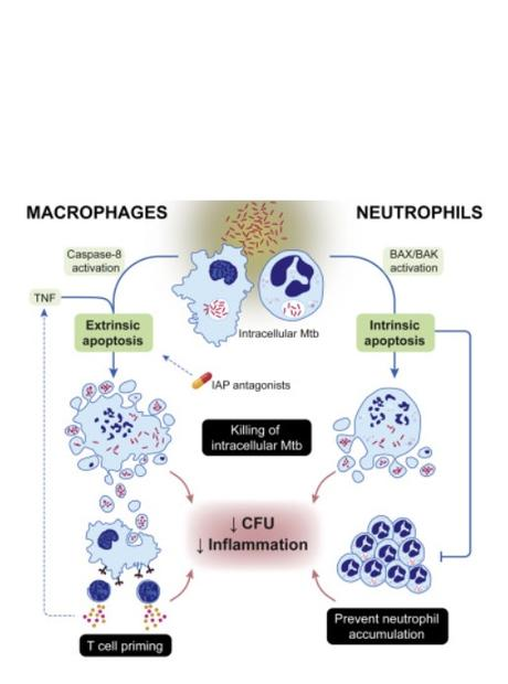 Les chercheurs testent ensuite de nouveaux médicaments qui forcent les cellules infectées à mourir (Visuel Immunity)