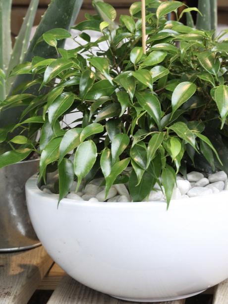 plante extérieure pot rond ovale bas petit cailloux blanc
