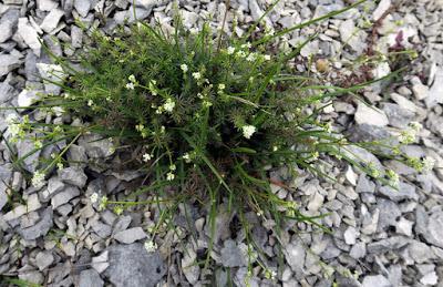 Gaillet de Fleurot (Galium fleurotii)