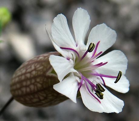 Silène des éboulis (Silene vulgaris subsp. glaerosa)