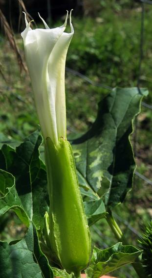 Datura officinal (Datura stramonium)