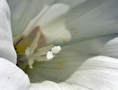 Liseron des haies (Convolvulus sepium)