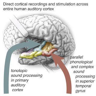 #Cell #cortexauditif #parole #codage Codage parallèle et distribué de la parole à travers le cortex auditif humain