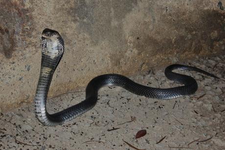 03 septembre – Cobra chinois!