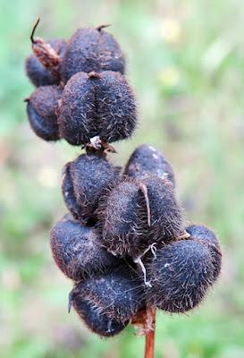 Astragale pois-chiche (Astragalus cicer)