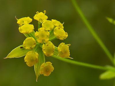 Buplèvre en faux (Bupleurum falcatum)
