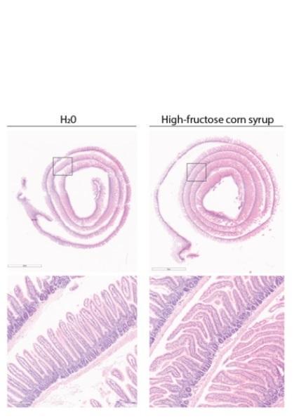 Les souris nourries avec un régime riche en fructose présentent des villosités intestinales plus longues (Visuel Samuel Taylor and Dr. Marcus Goncalves)