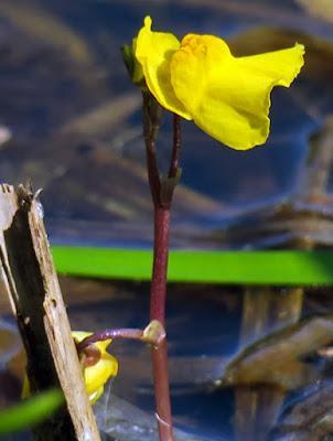 Utriculaire négligée (Utricularia australis)