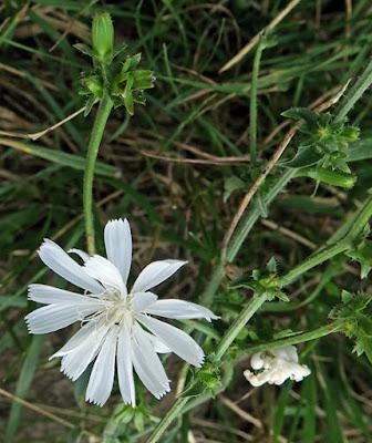 Chicorée sauvage albiflore (Cichorium intybus albiflora)