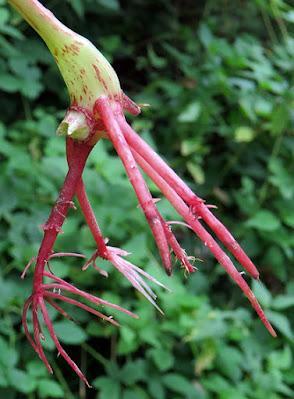 Balsamine de l'Himalaya (Impatiens glandulifera)