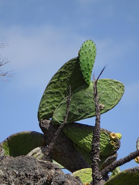 volcantenerifeelteidecanariescactus