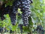 Ardennes Mirebeau, raisins murissent